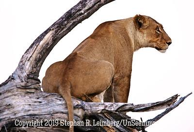 Lion Looking Right_U0U0220 web