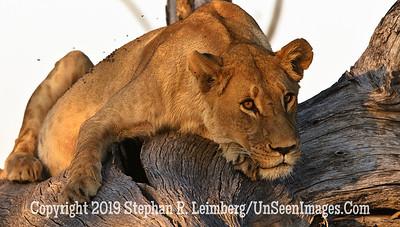 Female Lion in Tree_U0U0057 web