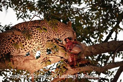 Leopard with Kill on Tree_MG_7392 web