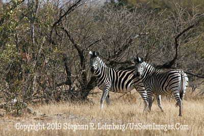 Two Zebras_U0U0289 web