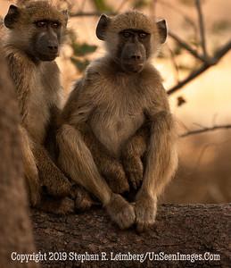 Two Monkey Buddies Posing Close-Up_U0U0233 web