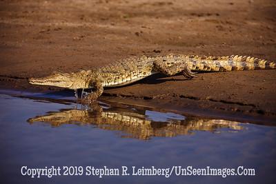 Gator Entering Water_MG_6911 web