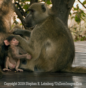 Baboons on Porch_U0U0037 web