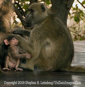 Baboons on Porch_U0U0037 web