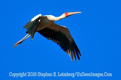 Golliath Bird in Flight_MG_7079 WEB