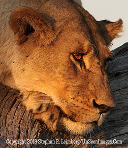Pensive Lion Up-Close_U0U0091 web