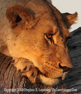 Pensive Lion Up-Close_U0U0091 web