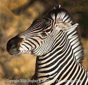 Zebra Portrait_U0U0322 web