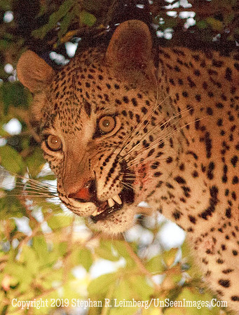 Leopard Snarling_MG_7475 web