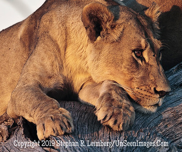 Thinking Lioness_U0U0160 web