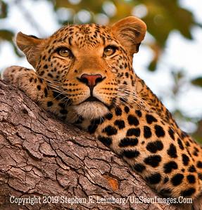 Leopard in Tree Three Close-Up_U0U0441 web