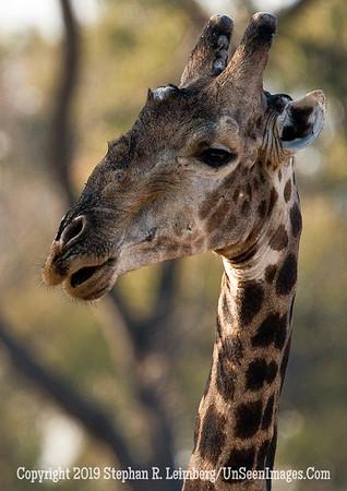 Giraffe _U0U0091 web