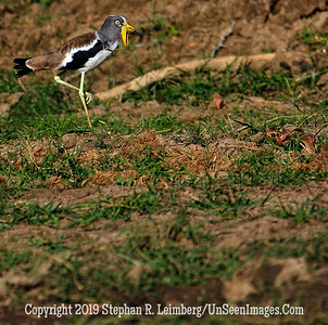 Yellow Jawed Bird_MG_7077 web