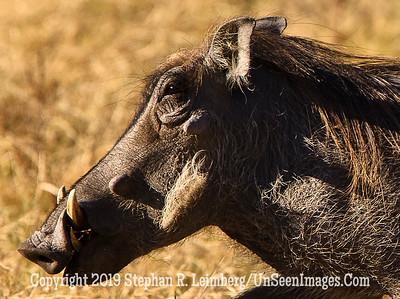 Warthog Running Up Close_U0U0280 web