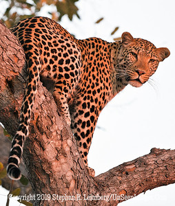 Leopard in Tree Looking Back_U0U0359 web
