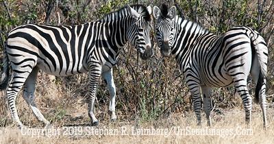 Two Zebras Touching_U0U0338 web