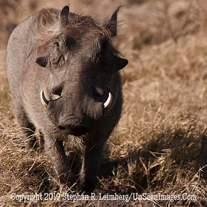 Warthog Staring_U0U0282 web