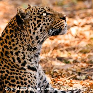 Leopard Looking Up_U0U0167  web