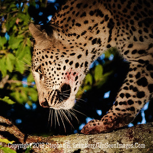 After Dinner Leopard_MG_7462 web