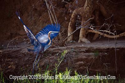 Flying Blue Egret_MG_6815 web
