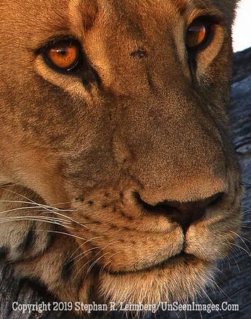 Female Lion in Tree Close-Up_U0U0057 web