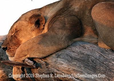 Lion Lying Up-Close_U0U0080 web