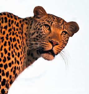 Leopard Looking Back Close-Up_U0U0352 web