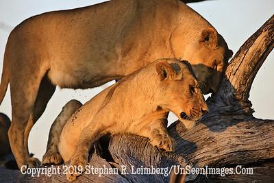 Nuzzling Lions_U0U0124 web