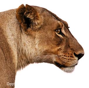 Lion Looking Right Up Close_U0U0220 web