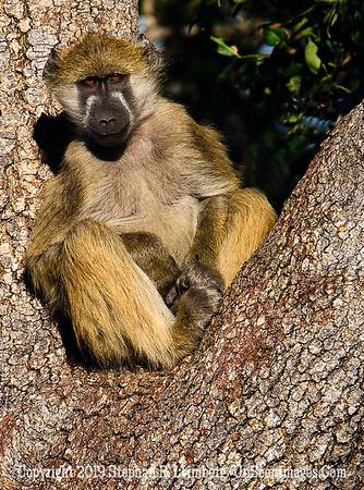 Monkey Posing in Tree_U0U0260 web