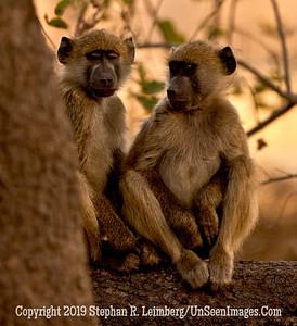 Two Monkeys in Tree Close-Up_U0U0236 web