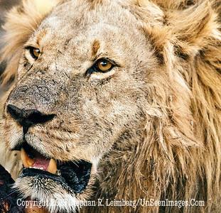 Lion Eating Close-Up_U0U0462 web