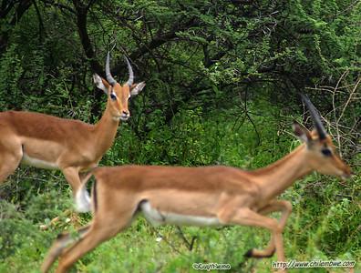 impala, Gaborone Game reserve