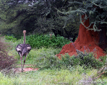 Ostrich, Gaborone Game reserve