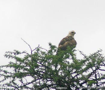 Marshall Eagle, Gaborone Game reserve