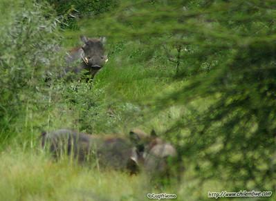 warthog, Gaborone Game reserve