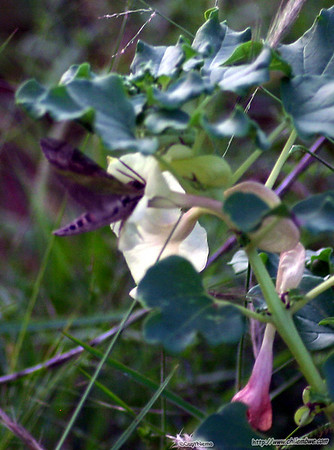 Moth feeding on flower nectar