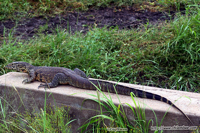 Monitor lizard, Gaborone Game reserve