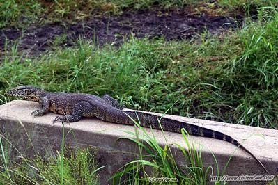 Monitor lizard, Gaborone Game reserve