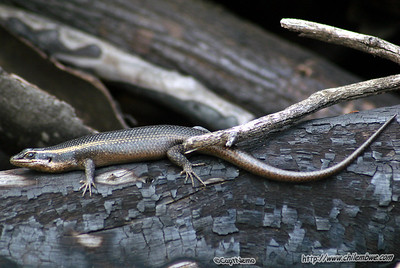Skink in the back yard