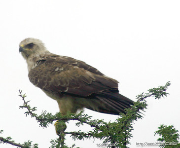 Marshal Eagle, Gaborone Game reserve