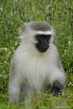 vervet monkey, Gaborone Game reserve