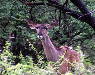 kudu, Gaborone Game reserve