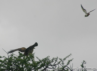 Eagle being attacked by small birds