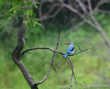 Kingfisher, Gaborone Game reserve