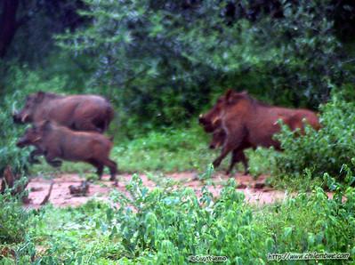 warthogs, Gaborone Game reserve
