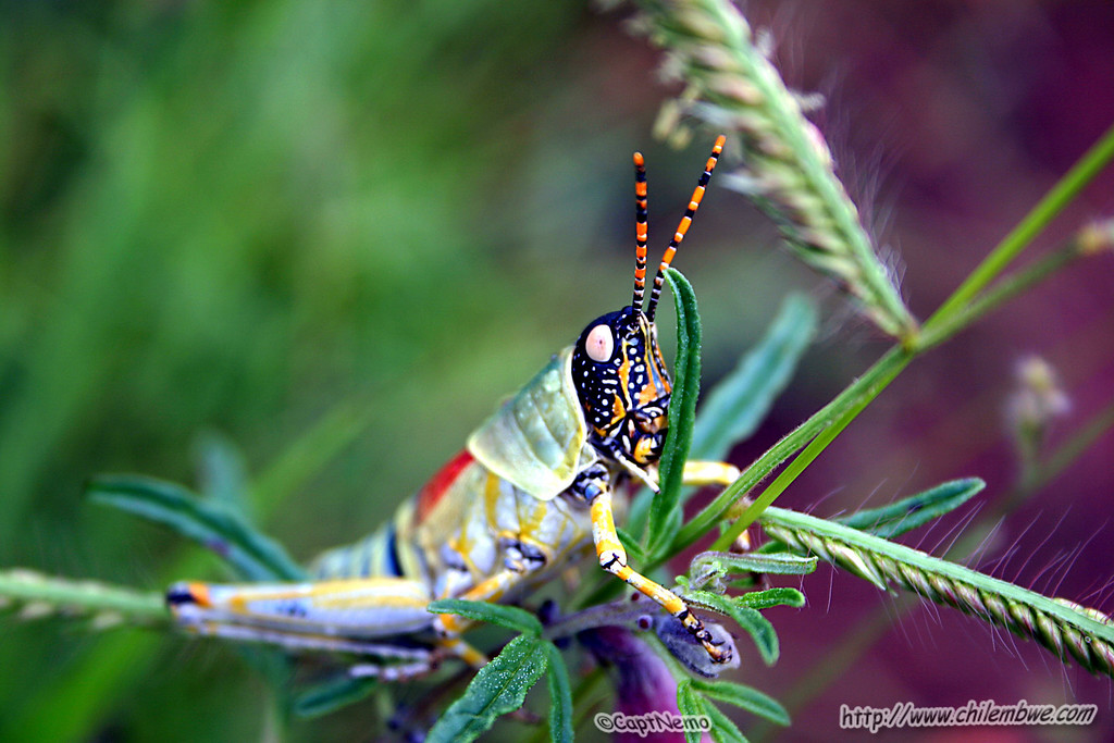 Brightly colored grasshopper, Lobatse, Botswana.
