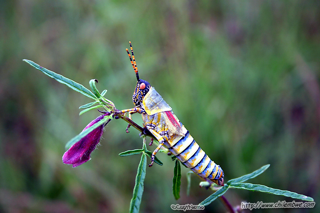 Brightly colored grasshopper