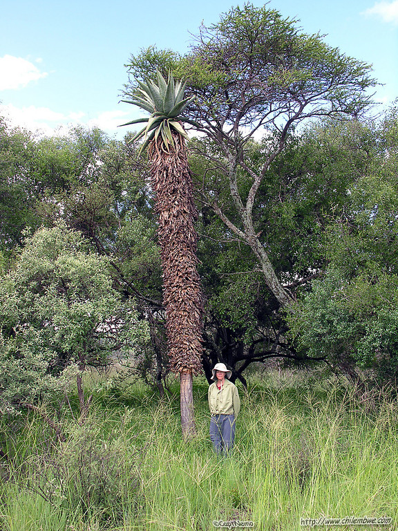 Karole with a 'tree aloe' -Aloe marlothii(not a palm tree :) )<br /> -photo by Tom Inderkum