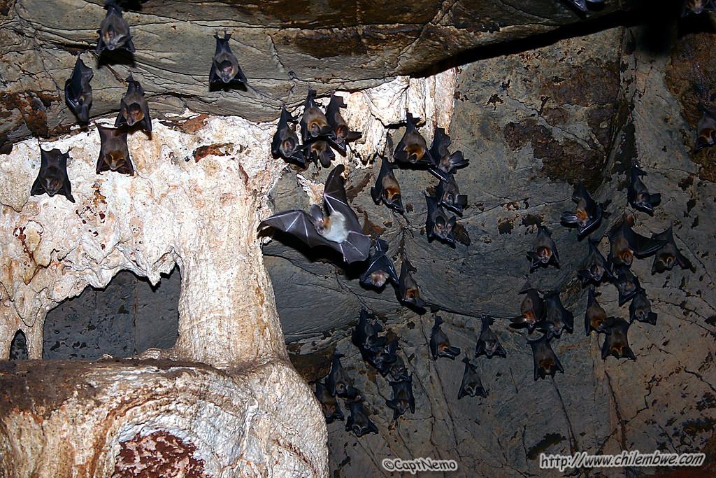 Botswana big eared bats!